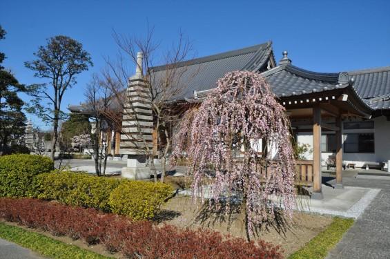 埼玉県上尾市の寺院 20160309 楞厳寺の枝垂れ梅DSC_0864