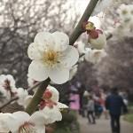 埼玉県越谷市 梅まつり 梅林公園17-03-05-15-06-58-371_photo