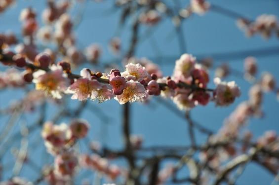 埼玉県上尾市の寺院 馬蹄寺の枝垂れ梅 三月DSC_0989
