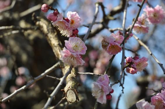 埼玉県上尾市の寺院 馬蹄寺の枝垂れ梅 三月DSC_0987