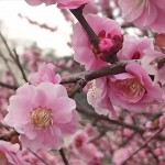 埼玉県越谷市 梅まつり 梅林公園17-03-05-15-19-24-063_photo