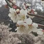埼玉県越谷市 梅まつり 梅林公園17-03-05-15-10-28-206_photo