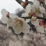 埼玉県越谷市 梅まつり 梅林公園17-03-05-15-11-41-192_photo