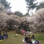 埼玉県越谷市 梅まつり 梅林公園17-03-05-15-04-24-644_photo