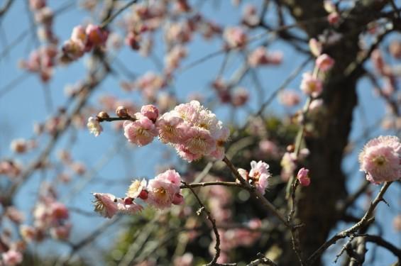 埼玉県上尾市の寺院 馬蹄寺の枝垂れ梅 三月DSC_0988
