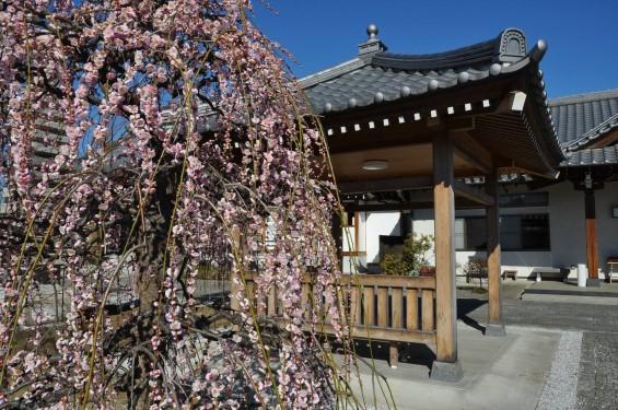 埼玉県上尾市の寺院 20160309 楞厳寺の枝垂れ梅DSC_0865