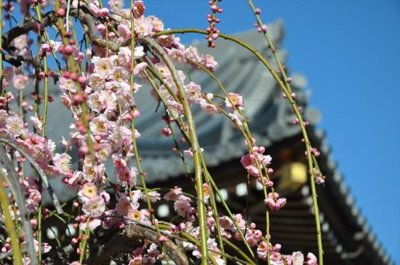埼玉県上尾市の寺院 20160309 楞厳寺の枝垂れ梅DSC_0868