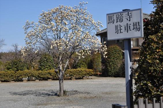埼玉県上尾市の寺院 馬蹄寺のモクレン 三月DSC_0978