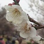 埼玉県越谷市 梅まつり 梅林公園17-03-05-15-06-18-914_photo