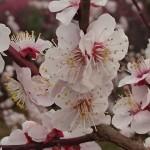 埼玉県越谷市 梅まつり 梅林公園17-03-05-15-27-48-920_photo