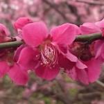 埼玉県越谷市 梅まつり 梅林公園17-03-05-15-16-01-251_photo