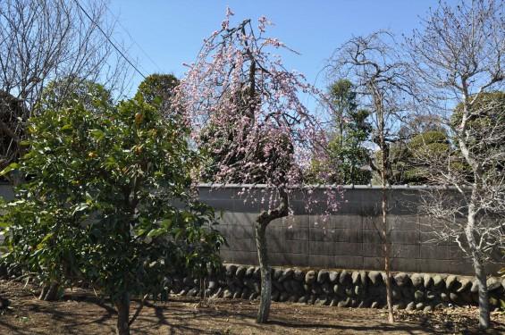 埼玉県上尾市の寺院 馬蹄寺の枝垂れ梅 三月DSC_0986