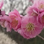 埼玉県越谷市 梅まつり 梅林公園17-03-05-15-18-21-394_photo