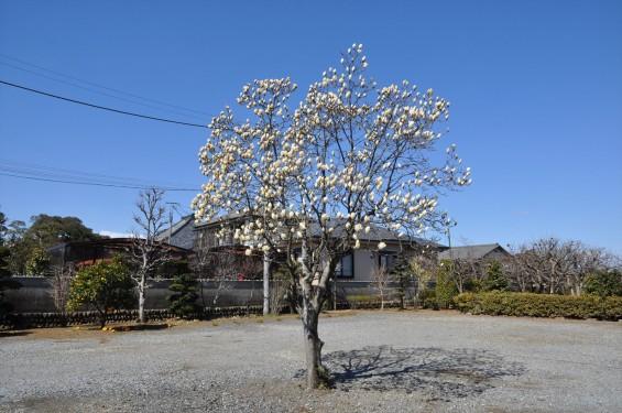 埼玉県上尾市の寺院 馬蹄寺のモクレン 三月DSC_0980