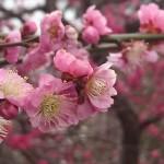 埼玉県越谷市 梅まつり 梅林公園17-03-05-15-17-04-083_photo
