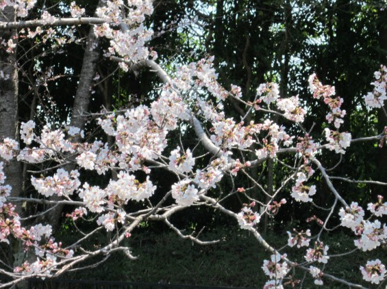 201704 桶川霊園 桜 002