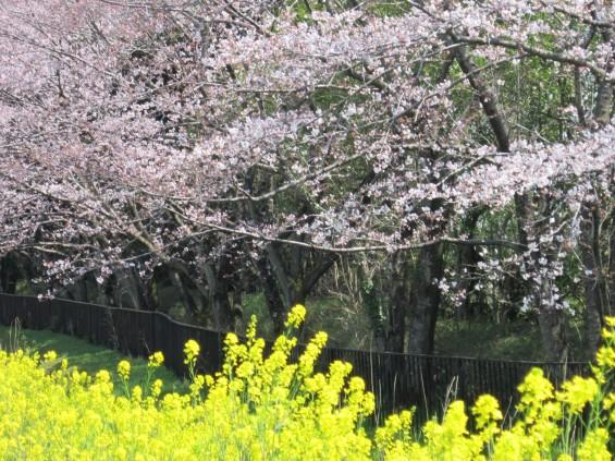 201704 桶川霊園 桜 菜の花 003