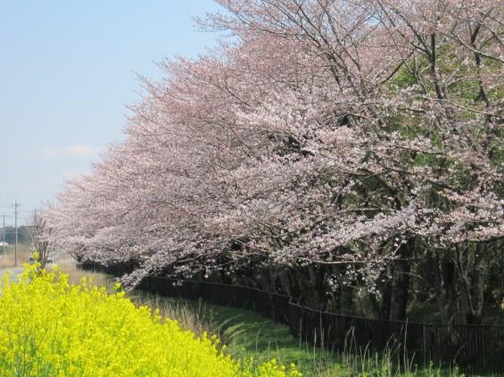 201704 桶川霊園 桜 菜の花 004
