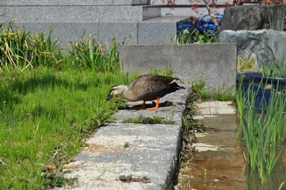 2017年4月14日 上尾市仏教会顧問会総会 今年の会場は遍照院でした 水鳥 鴨DSC_1610