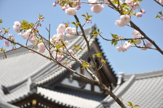 2017年4月12日 埼玉県の寺院 楞厳寺の桜 八重桜DSC_1381