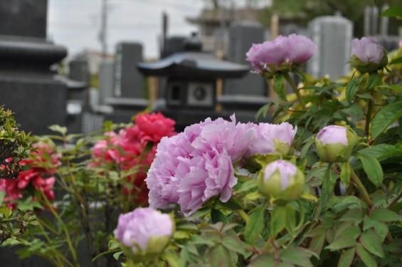 2017年4月26日 埼玉県上尾市 楞厳寺の墓域入口にある牡丹 ボタン 花 大輪 大きい 赤 ピンクDSC_2287