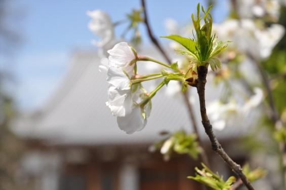 2017年4月12日 埼玉県の寺院 楞厳寺の桜 白い桜 DSC_1398
