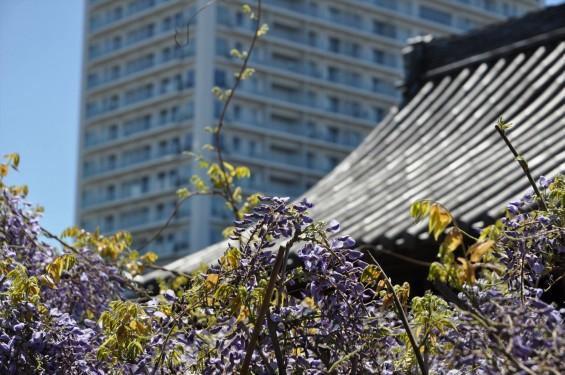 2017年4月27日 埼玉県上尾市の寺院 遍照院の藤 花 山門とタワーマンション 高層ビル 新旧 DSC_2175