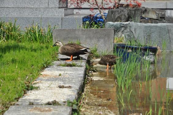 2017年4月14日 上尾市仏教会顧問会総会 今年の会場は遍照院でした 境内の様子 水鳥 鴨DSC_1602