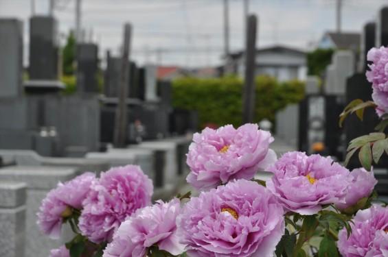 2017年4月26日 埼玉県上尾市 楞厳寺の墓域入口にある牡丹 ボタン 花 大輪 大きい 赤 ピンクDSC_2302