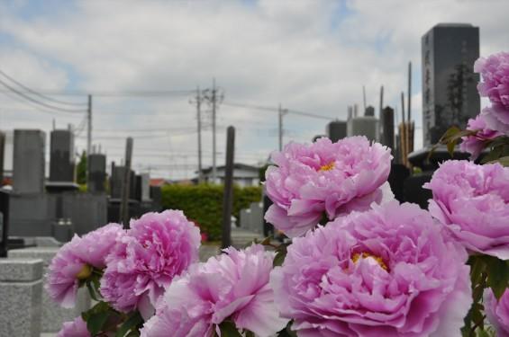 2017年4月26日 埼玉県上尾市 楞厳寺の墓域入口にある牡丹 ボタン 花 大輪 大きい 赤 ピンクDSC_2278