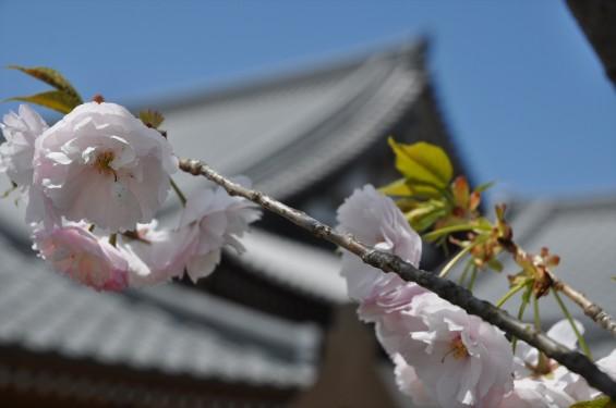 2017年4月12日 埼玉県の寺院 楞厳寺の桜 八重桜DSC_1389
