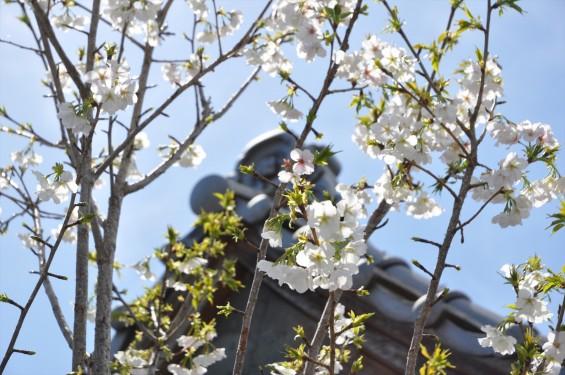 2017年4月12日 埼玉県の寺院 楞厳寺の桜 白い桜DSC_1390