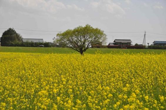 2017年4月25日 埼玉県鴻巣市 吉見町 好総合運動公園 一面の黄色い菜の花畑 ナノハナ 黄色いじゅうたん 絨毯 DSC_1783