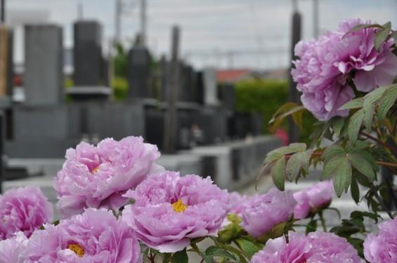 2017年4月26日 埼玉県上尾市 楞厳寺の墓域入口にある牡丹 ボタン 花 大輪 大きい 赤 ピンクDSC_2291
