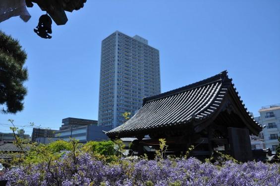 2017年4月27日 埼玉県上尾市の寺院 遍照院の藤 花 山門とタワーマンション 高層ビル 新旧 DSC_2174