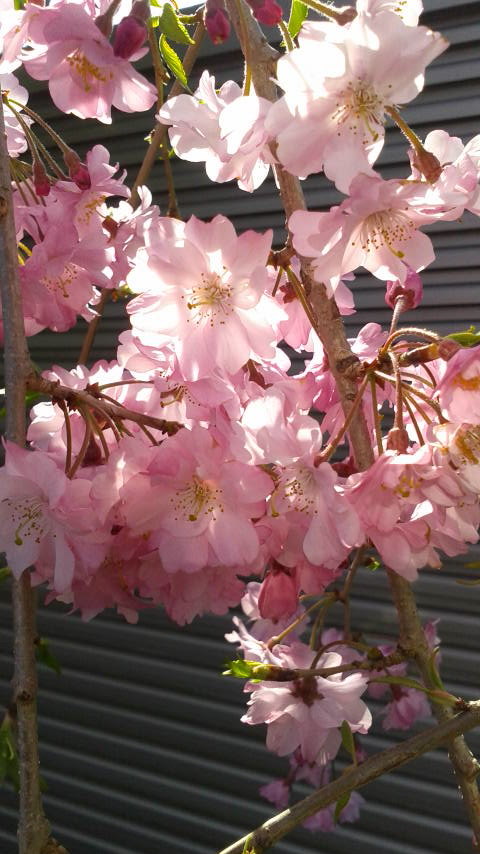 埼玉県の霊園 久喜聖地公苑の桜2017040714390000.jpg
