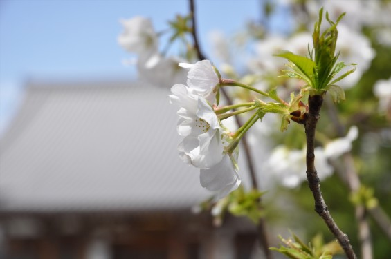 2017年4月12日 埼玉県の寺院 楞厳寺の桜 白い桜 DSC_1400
