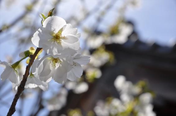 2017年4月12日 埼玉県の寺院 楞厳寺の桜 白い桜 DSC_1393
