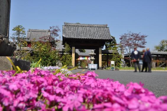 2017年4月14日 上尾市仏教会顧問会総会 今年の会場は遍照院でした 境内の様子 赤い芝桜 DSC_1570