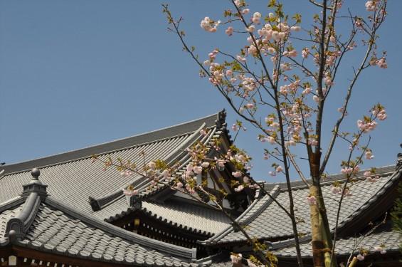 2017年4月12日 埼玉県の寺院 楞厳寺の桜 八重桜DSC_1403