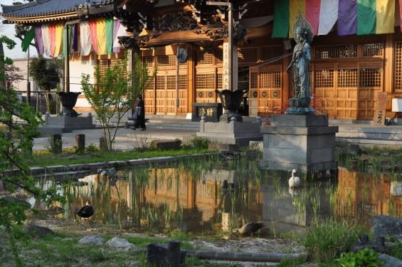 2017年4月14日 上尾市仏教会顧問会総会 今年の会場は遍照院でした 水鳥 鴨DSC_1777