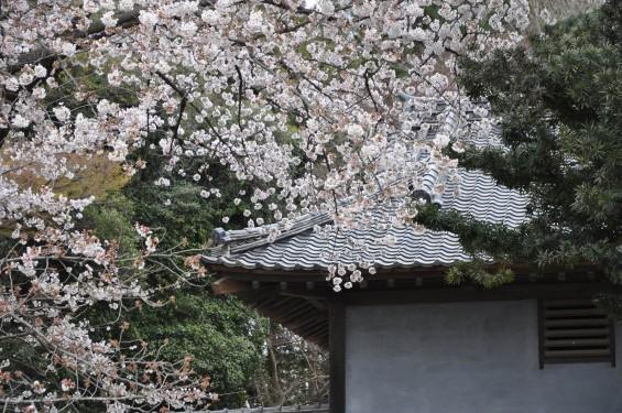 2017年4月 埼玉県熊谷市  幕末の志士 根岸友山 根岸家長屋門 満開の桜DSC_1253