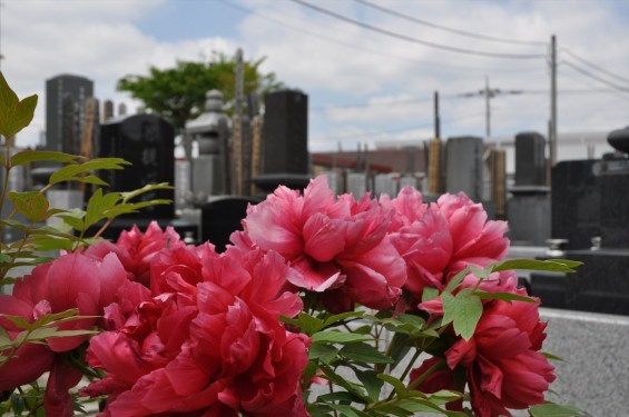 2017年4月26日 埼玉県上尾市 楞厳寺の墓域入口にある牡丹 ボタン 花 大輪 大きい 赤 ピンクDSC_2281