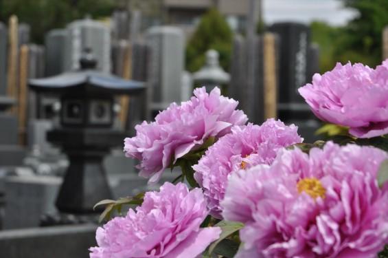 2017年4月26日 埼玉県上尾市 楞厳寺の墓域入口にある牡丹 ボタン 花 大輪 大きい 赤 ピンクDSC_2299