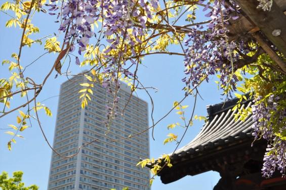 2017年4月27日 埼玉県上尾市の寺院 遍照院の藤 花 山門とタワーマンション 高層ビル 新旧 DSC_2177