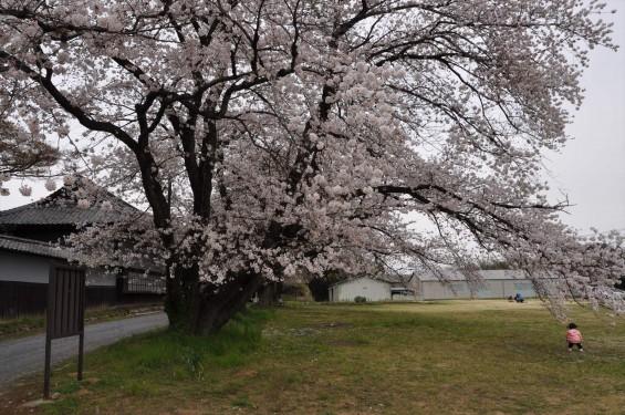 2017年4月 埼玉県熊谷市  幕末の志士 根岸友山 根岸家長屋門 満開の桜DSC_1238