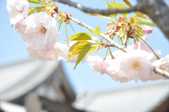 2017年4月12日 埼玉県の寺院 楞厳寺の桜 八重桜DSC_1383