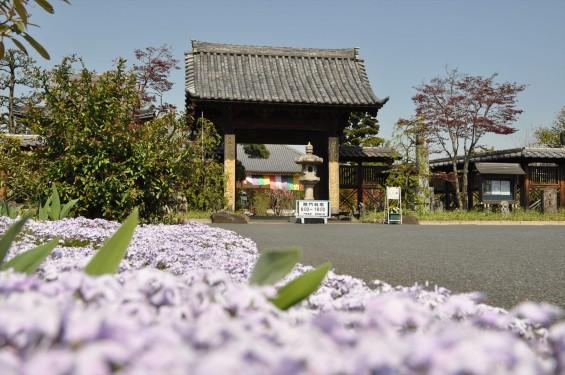 2017年4月14日 上尾市仏教会顧問会総会 今年の会場は遍照院でした 境内の様子 白い芝桜 DSC_1571