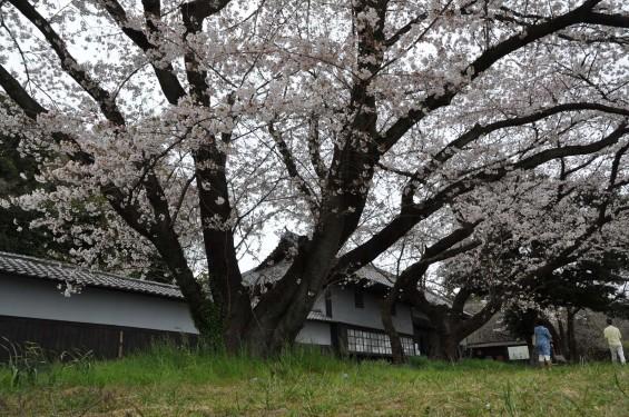 2017年4月 埼玉県熊谷市  幕末の志士 幕末の志士 根岸友山 根岸家長屋門 満開の桜DSC_1234