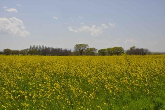 2017年4月25日 埼玉県鴻巣市 吉見町 好総合運動公園 一面の黄色い菜の花畑 ナノハナ 黄色いじゅうたん 絨毯 DSC_1780